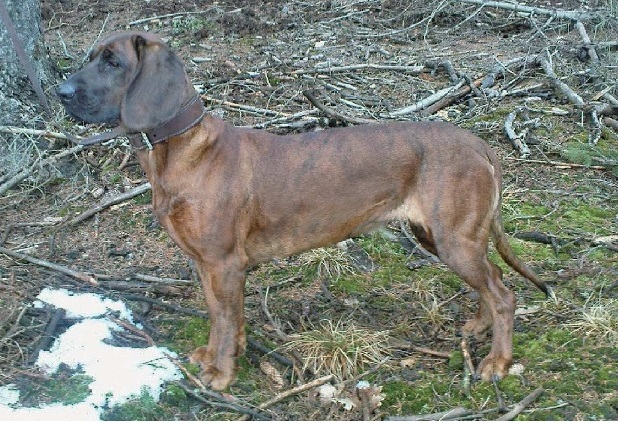 HSfemale brindle.jpg